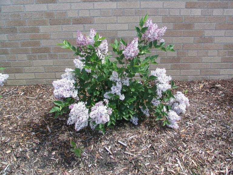 May_2006_Flowers_2_Single_Plant.jpg